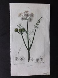 Turpin C1815 Antique Botanical Print. Oenanthe. Water Dropwort 251